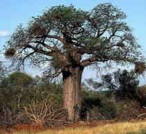 Adansonia digitata 3 ks