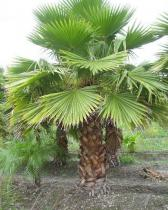Washingtonia robusta semena 3 ks