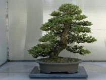 Juniperus chinensis semena 5 ks