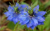 Nigella damascena semena 25 Ks