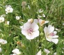 Althaea officinalis semena 18 ks