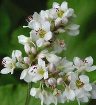 Polygonum fagopyrum semena 20 ks