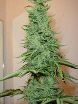 Homegrown Fantaseeds Big Bud Feminizované 5 ks