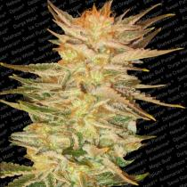 Paradise seeds Ice cream Feminizované 25 ks